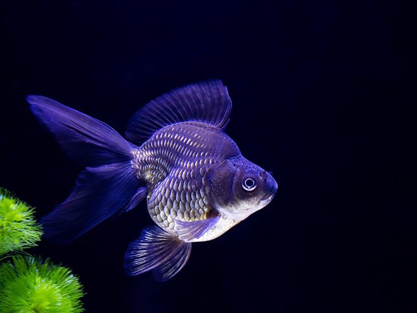 部屋で水中ショーを見せてくれる観賞魚