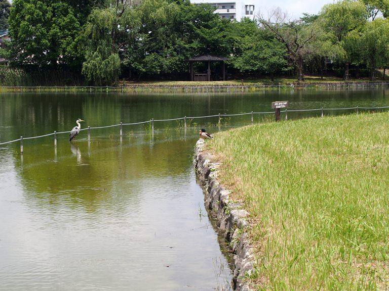 諸岡池公園の野鳥